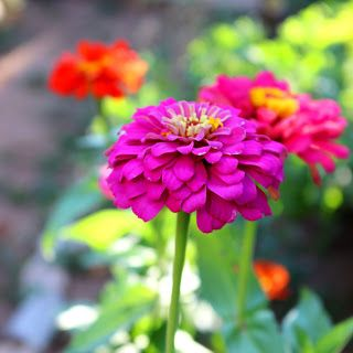 World Through my Photos: BEAUTIFUL ZINNIAS