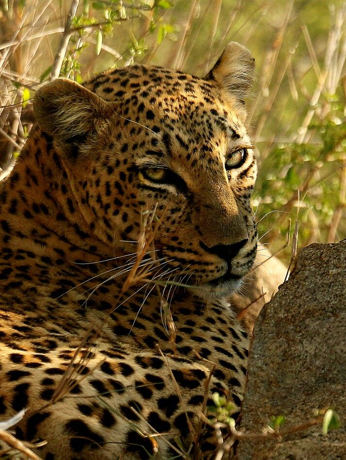 Another pic of the magnificent Leopard female called Scocia.
