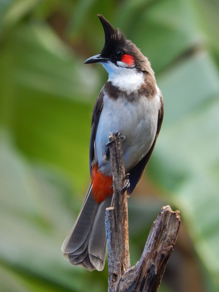 Red-whiskered Bulbul bird.