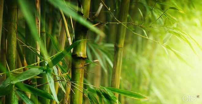 Cuando uno pasa por un bosque de bambú de hoja perenne, el paisaje creado por las cañas de bambú es realmente espléndido. Además, el bambú da muchos beneficios a las personas. El bambú es una de las plantas de más rápido crecimiento en la tierra, y se ha descubierto que …