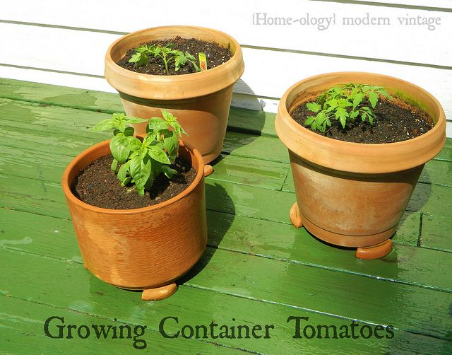Best 25 Growing Tomatoes In Containers Ideas On Pinterest Greenhouse Tomatoes Growing