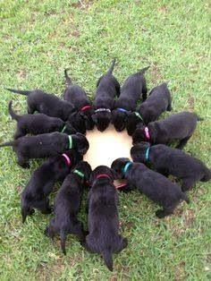 Black Labrador Puppy Circle :)
