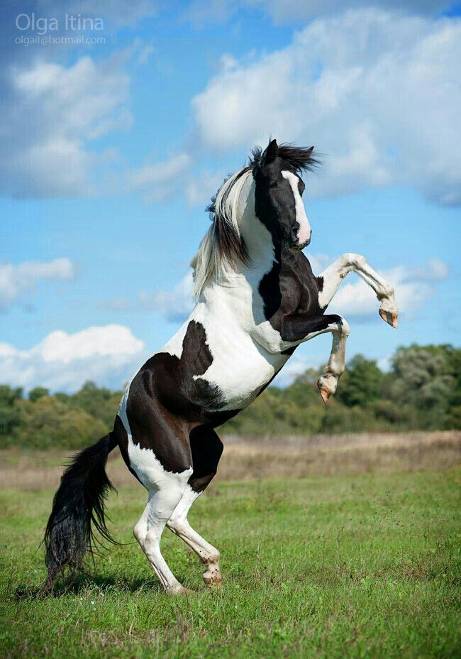 65 Mustang For Sale >> Rearing black & white horse. | black & white horses | Horses, Beautiful horses, American paint horse
