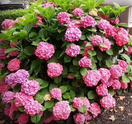 Hasil gambar untuk bunga asoka