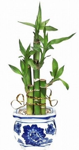 How to Grow Bamboo Plants Indoors or Out / Gardener's Network