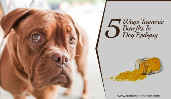 5 Ways Turmeric Benefits In Dog Epilepsy - Epilepsy is a brain related disorder in which dogs experience sudden uncontrolled seizures. Seizure is a physical attack when the dog may fall on his side, become stiff, salivate excessively, have a stiff jaw, jerking, …