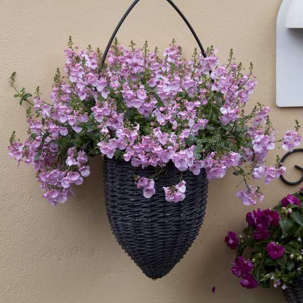 Tvillingblomst / Diascia  Graciøs krybende/hængende sommerblomst med kaskader af smukke tragtformede blomster i rosa og hvide nuancer fra maj til frosten kommer. Placeres solrigt eller i let skygge. Vandes og gødes jævnligt. Velegnet i krukker, altankasser, ampler og udplantet i haven.