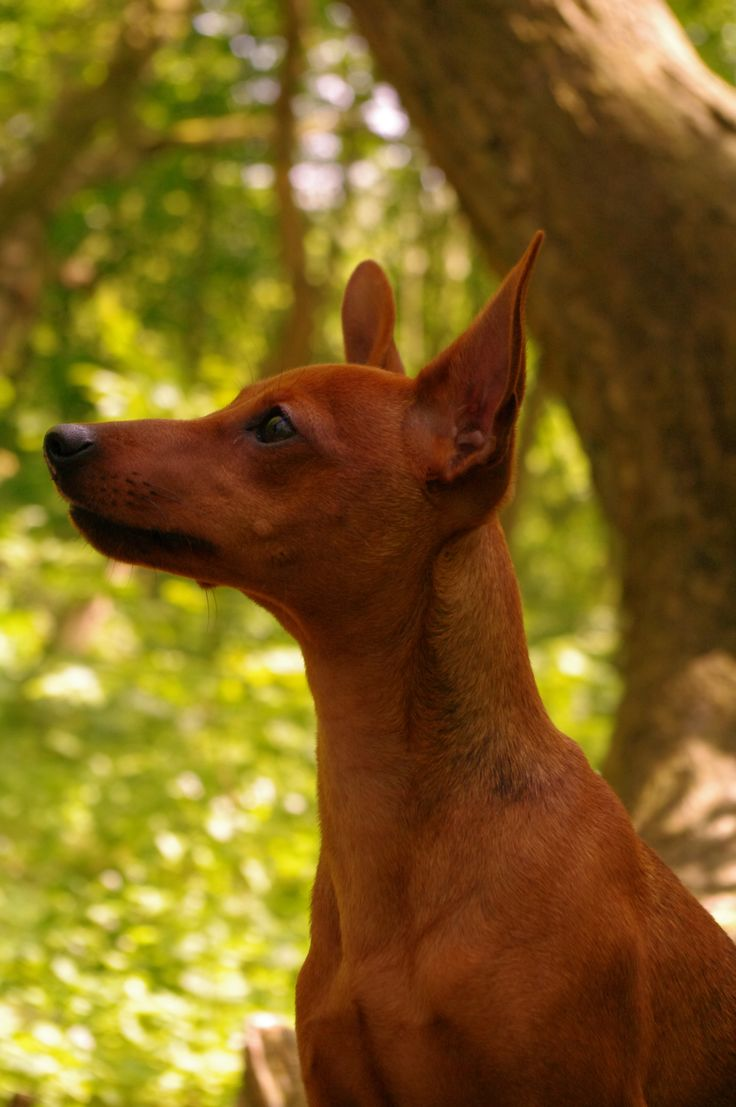 One day I have my own beautiful red miniature pinscher bitch...