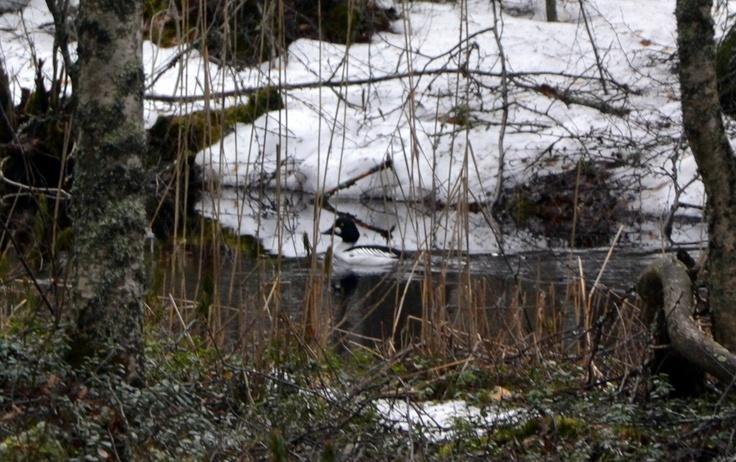 Telkkä ui purossa Leivonmäen kansallispuistossa.