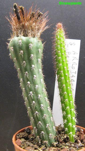 Arrojadoa penicillata - (Gurke) Britton & Rose 1920