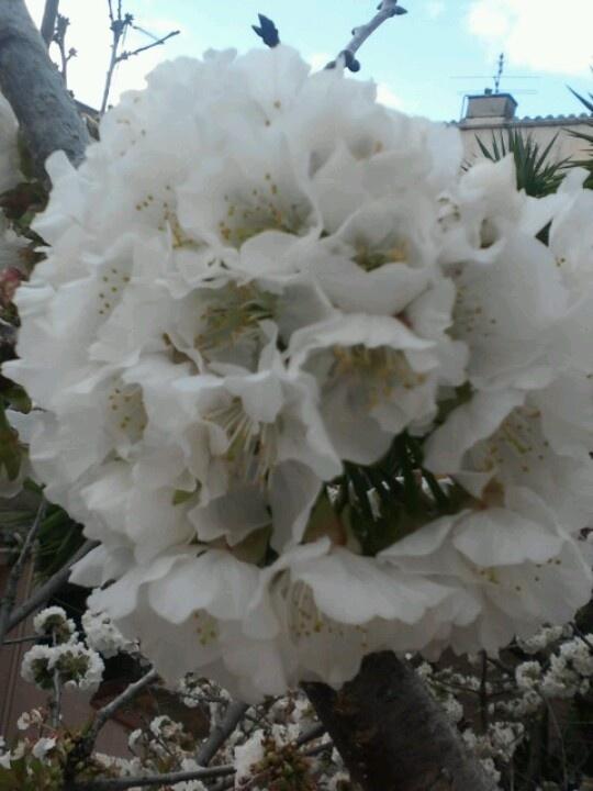 Flor de cirere