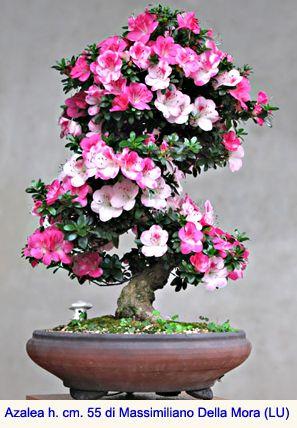 Hobby Bonsai: Azalea, bonsai del portamento elegante e dalla fioritura spettacolare