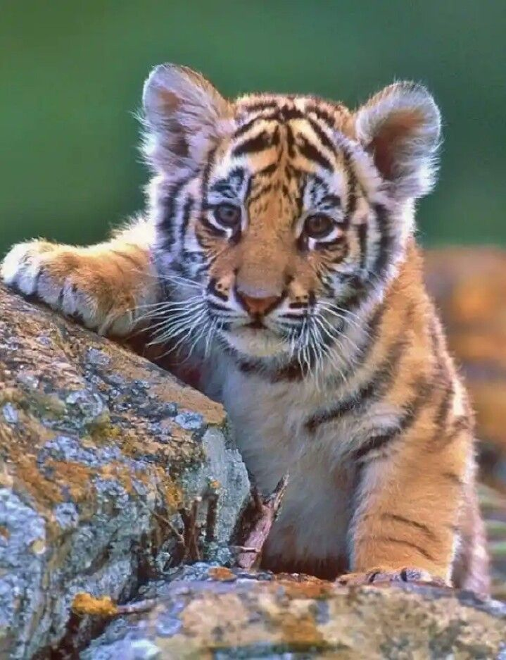 Pin By Katherine Russell On Animais Fofos Cute Tigers Cute Tiger Cubs Baby Animals