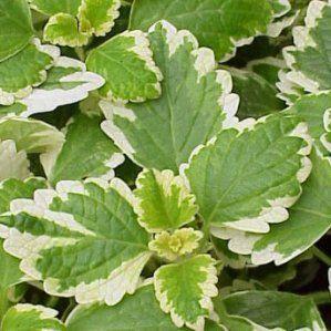 Mejores 113 im genes de plantas p en pinterest tipo de for Arbustos de hoja perenne resistentes al frio