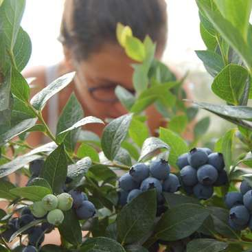 Workaway in New Zealand. Help at a family run blueberry orchard in Waipapa, New…