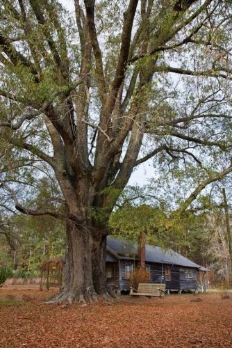 Marion County Farmhouse(1900-50)- Willow oak-Marion County South Carolina SC