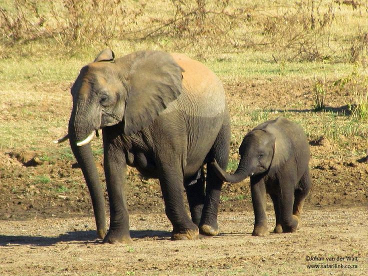 On 12 August we celebrate the 3rd annual #WorldElephantDay.  The world's elephants (Asian and African Elephants) are in crisis. More than 30 000 elephants were killed last year in Africa alone. The increasing demand for ivory is causing a dramatic escalation in poaching. Other problems facing the world elephant population include habitat loss, human-elephant conflict and mistreatment in captivity. Do what you can to support the plight of these magnificent and intelligent mammals.