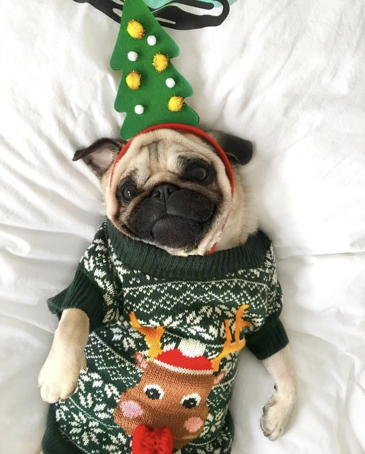 A Pug dressed up in a Christmas Sweater and Tree Headress ; ) #Pug