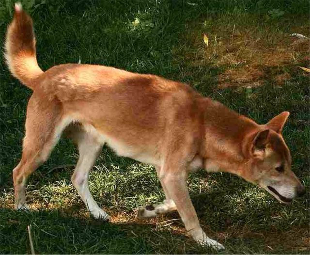 New Guinea Singing Dog- also very rare, almost wild dog.  they can vary the pitch of their howl, which can seem like singing.