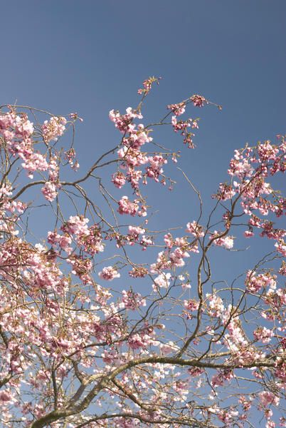 Love this image: Delicate pink spring cherry blossom against a blue sky, symbolic of the changing seasons - By stockarch.com user: stockarch