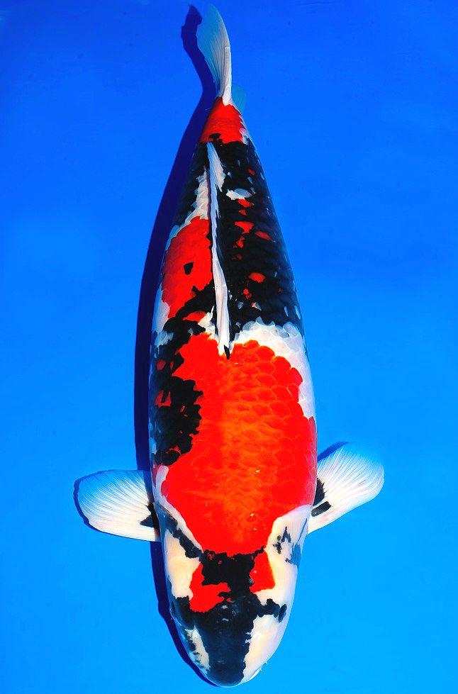 Les 124 meilleures images du tableau showa sur pinterest for Koi en japonais