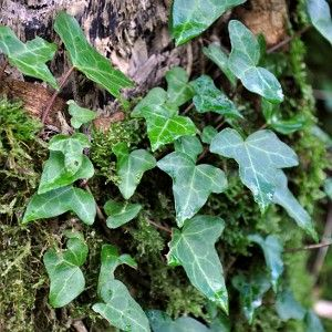 English ivy (hedera helix) effectively removes airborne fecal matter and can be usefully planted in and around outhouses. It also filters benzene, formaldehyde, trichloroethylene, xylene and toluene from the air. According to NASA it's the best houseplant to grow for air filtering purposes and is also the most effective at absorbing formaldehyde. Zone 5-9