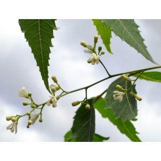 Azadirachta indica - Neem Tree
