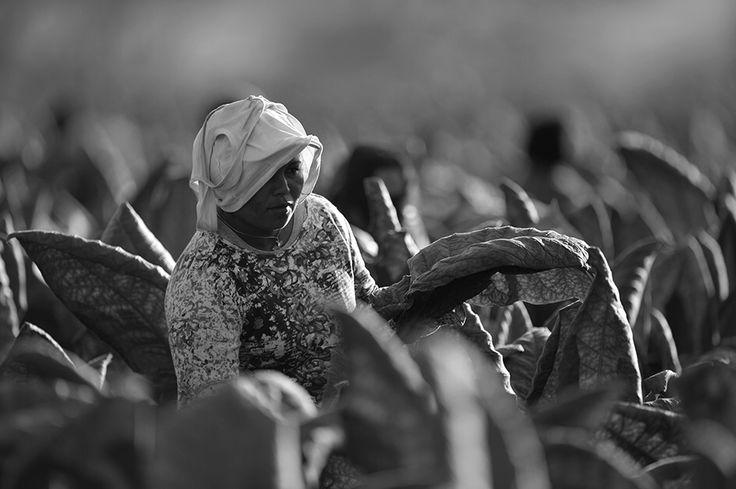 Récolte honduras