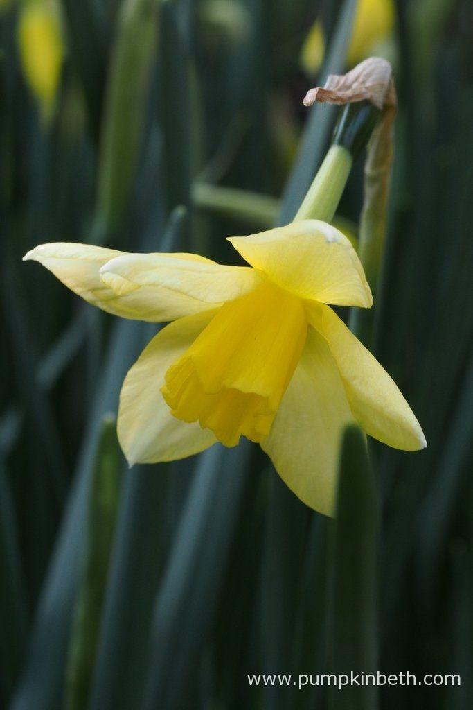Beautiful Daffodils to Plant Now - Pumpkin Beth