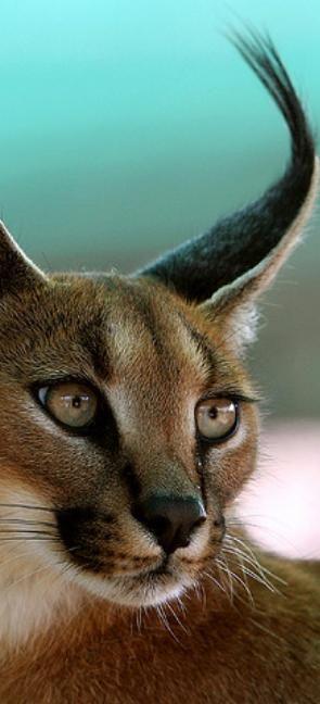 Caracal / Desert Lynx (Caracal caracal) thewildanimalstore.com