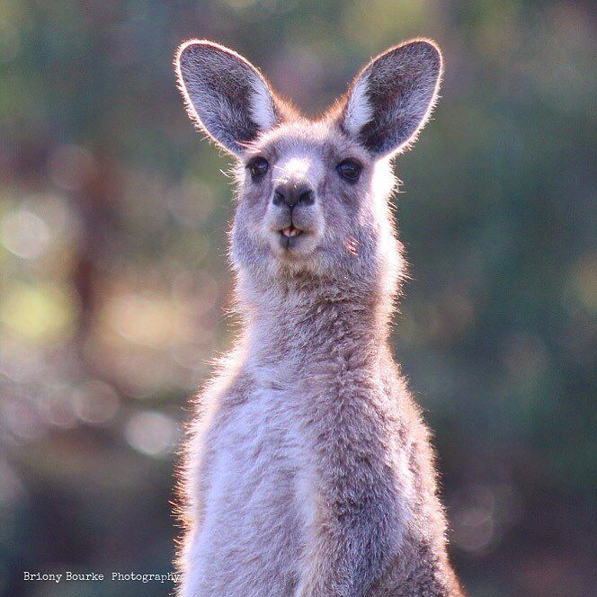An Australian icon; Kangaroos live freely in their natural habitat at the…