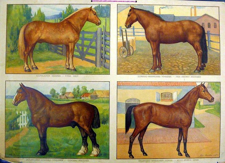 Opetustaulu, hevosrotuja