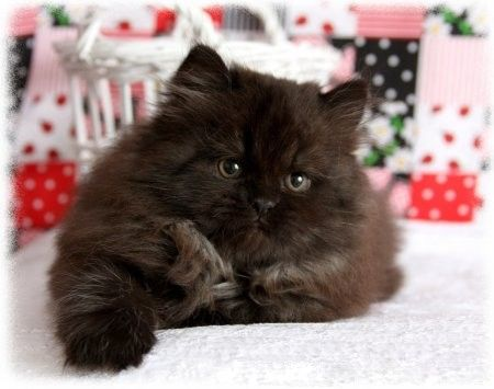 Persian cat for sale in ny