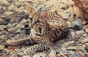 Rare Animals | Freaky Weird AnimalsZoos Animal, Big Cat, Wild Cat, Rare Animal, Ocelot, El Salvador, South America, Costa Rica, Central America