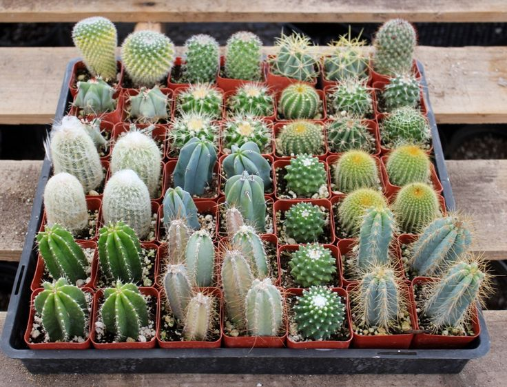"- About - Pot Type - Ordering This very cool collection is for a collection of 2.5"" assorted cactus for sale, ready for your collection or to give as a gift!. A little sun on a window sill, or in a pl"