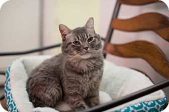 Phoenix, AZ - Persian. Meet Majeed, a cat for adoption. http://www.adoptapet.com/pet/17255720-phoenix-arizona-cat