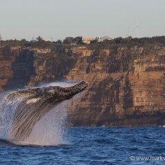 Sydney Australia Animals | Breaching whales off Vaucluse, Sydney, Australia | Animals