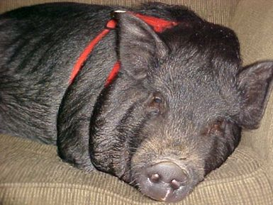 Spaying and Neutering Pot Bellied Pigs: Ella - Pot Bellied Pig