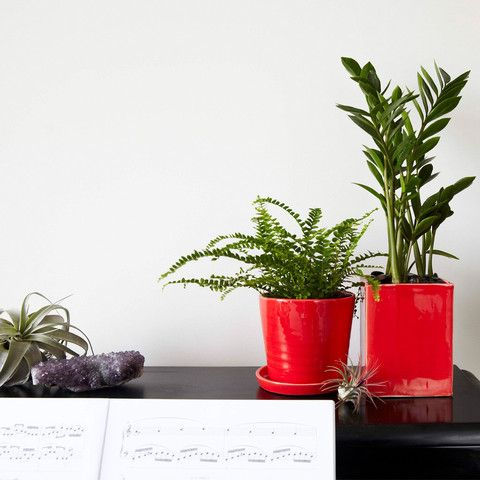 The Olmsted And August In Gloss Red Stoneware W ZZ Plant Lemon Button Fern