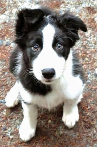 Border collie puppy gives perfect puppy dog eyes