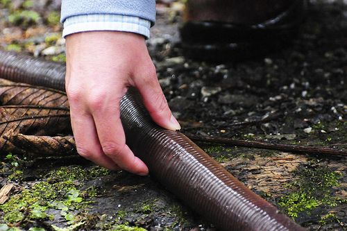 Massive Australian earthworm can grow up to 9 feet long [7 pictures]...