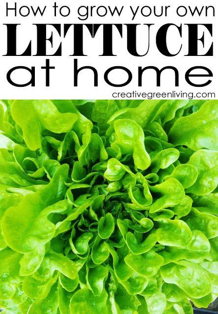 How to Plant Lettuce (and help fight hunger!).  sponsored by @tastybite, #goodseed, #tastybite