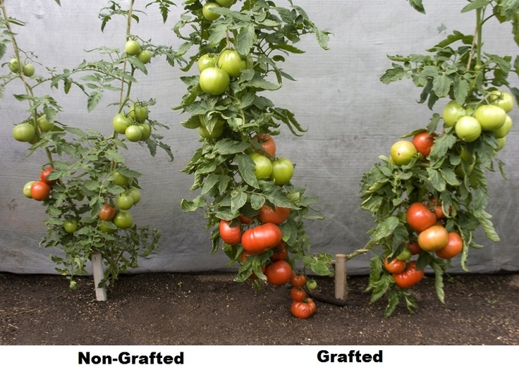 Interesting Idea For Growing A Tomato Plant. Follow The String