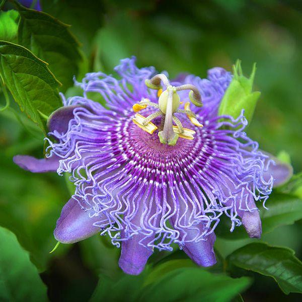 Buy Passiflora Incarnata Purple Krishana Kamal Plant Online At Nurserylive Best Plants At Lowest Price Purple Plants Passion Flower Plants Online