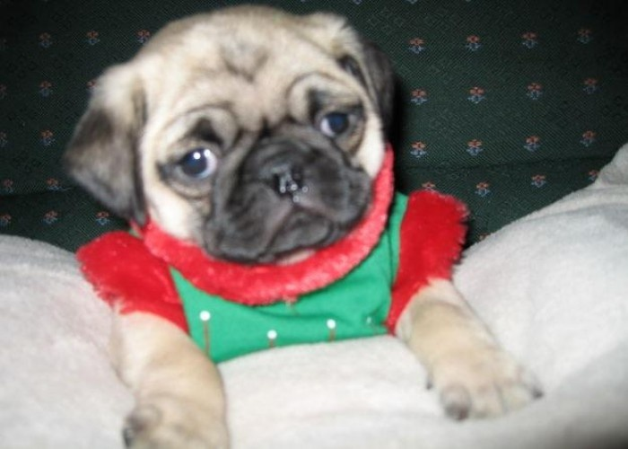 pug breeders mn pug puppies pug puppies for sale in oakdale minnesota 6809