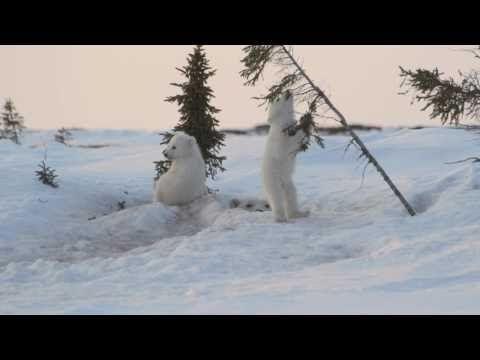 http://twentytwowords.com/2012/07/08/polar-bear-cubs-wrestling-in-the-snow/