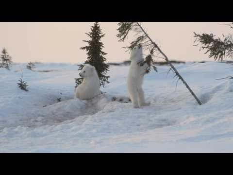http://twentytwowords.com/2012/07/08/polar-bear-cubs-wrestling-in-the-snow/