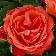 Rose Orange Sensation Floribunda