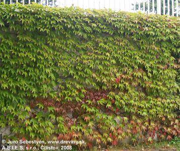 Pavinič trojlaločný Veitchii | Parthenocissus tricuspidata Veitchii - Záhradníctvo ABIES