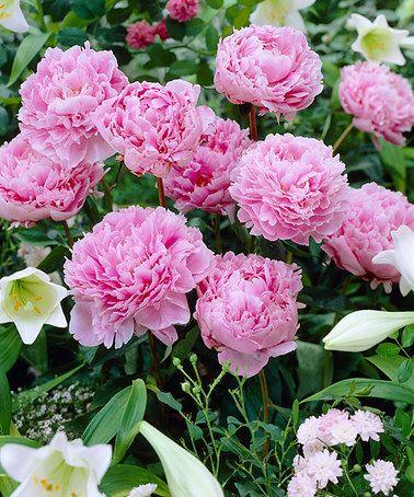 Look what I found on #zulily! Sarah Bernhardt Peony Root - Set of Three by bloomsz #zulilyfinds